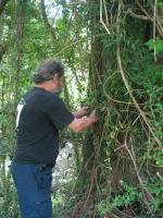 Here I'm weaving the tingid infected plants into the wild Cat's claw to get the tigids established.